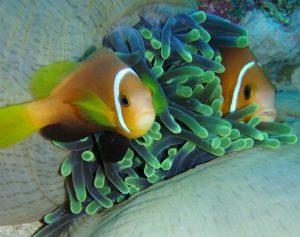 Anemonenfische.jpg